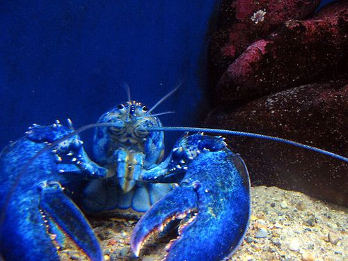 An estimated one in 2 million lobsters are blue. A genetic mutation causes a blue lobster to produce an excessive amount of a particular protein. The protein and a red carotenoid molecule known as astaxanthin combine to form a blue complex known as crustacyanin, giving the lobster its blue color.    Source: Wikipedia
