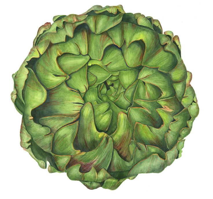 Artichoke Botanical Watercolor Print - Vegetable Art Painting by Sally Jacobs - Restaurant Wall Décor by SallyJacobsStudio on Etsy