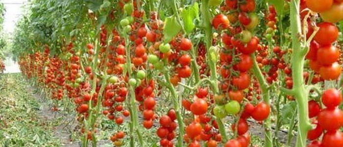 Новые сорта томатов для теплиц на фото: урожайные, крупноплодные, низкорослые и сладкие сорта томатов.