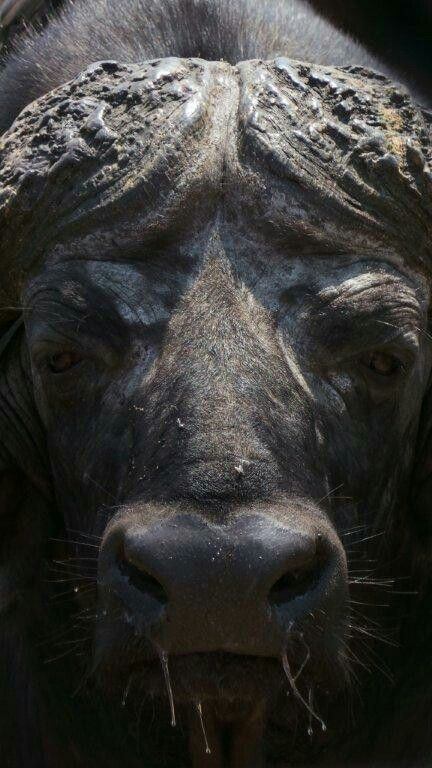 African buffalo - close-close-close-up