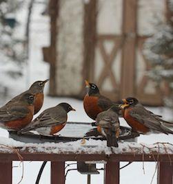 heated bird baths actually help birds conserve enrgy