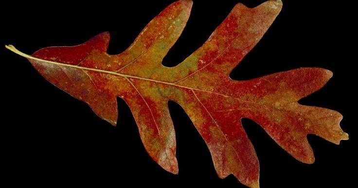 Tipos de folha de carvalho. O carvalho é uma das árvores de folha caduca mais comumente encontrada na América do Norte. Há cerca de 70 variedades de carvalhos na América do Norte que crescem até a altura de árvore. Carvalhos são comumente identificados de acordo com a altura, o habitat, a localização geográfica e as características das cascas, folhas e sementes. A margem da ...