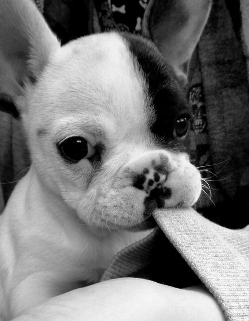 Black & White French Bulldog Puppy