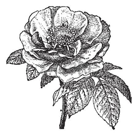 Роза Provins, старинные иллюстрации гравировкой. Словарь слов и вещей - Larive и Флери - 1895. photo