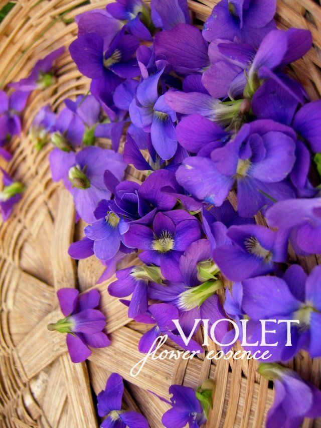 Violet One Willow Apothecaries Flower Essences Medicinal Plants Wildcrafting