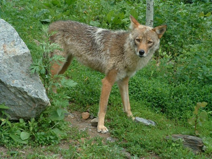 The coywolf is a hybrid species containing DNA from both coyotes and wolves.