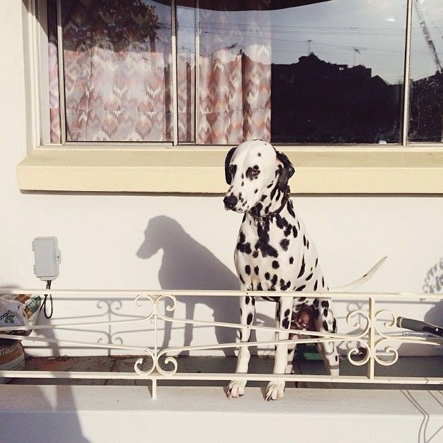 Carlton Dalmatian. So damn cute. (pic by me, Kristoffer Paulsen)