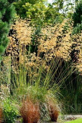 Stipa gigantea (Golden Oats) planted along the main path and in the big bed. Great all summer and also looks good in the winter.