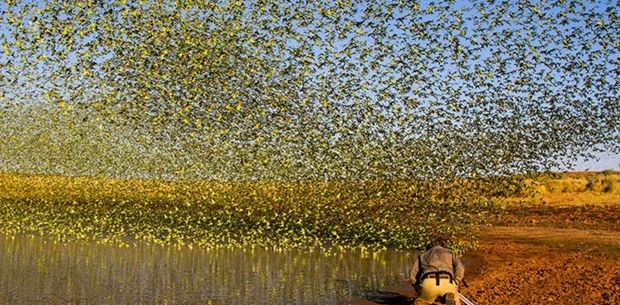 10 breathtaking images of flock of budgies