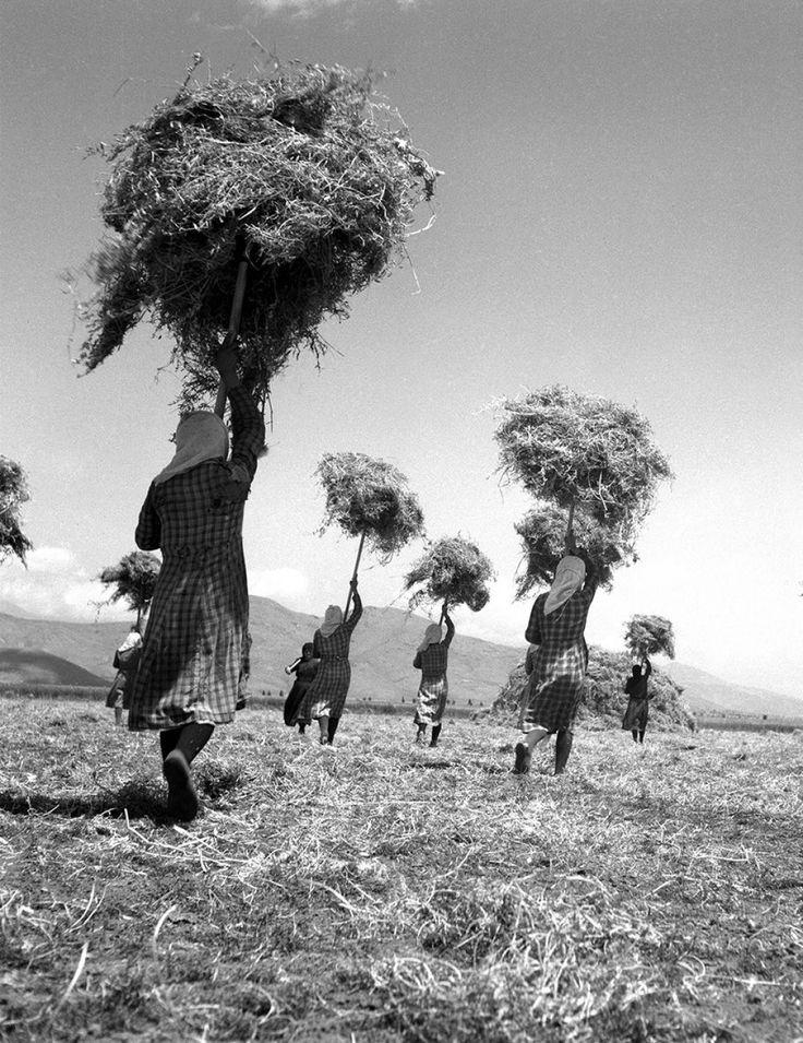 Μεταφέροντας τα άχυρα, Γυρτώνη Λάρισας, 1948