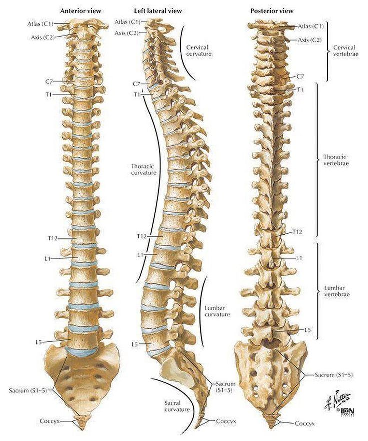 The spinal column is comprised of 26 individual bones these bones are referred to as vertebrae. The spinal column is divided into 5 different areas containing groups of vertebrae and are grouped as follows: 7 cervical vertebrae in the neck. 12 thoracic vertebrae in the upper back corresponding to each pair of ribs. 5 lumbar vertebrae in the lower back. 5 sacral vertebrae which are fused together to form 1 bone called the sacrum. 4 coccygeal vertebrae that are fused together to form the…