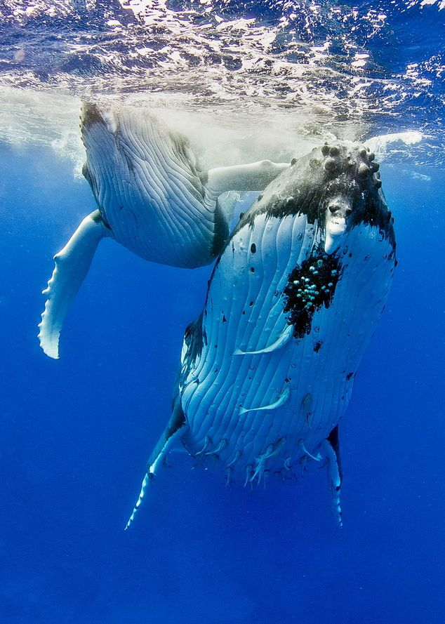 Love you mother by Tomas Kotouc ( Humpback Whales )