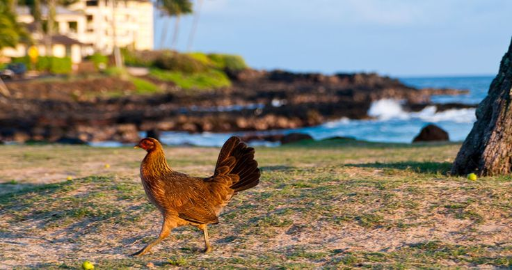FAQs | Poipu Beach, Kauai Oh ya did I mention the chickens?   Most people suggest that the feral chicken population can be traced back to when Hurricane Iniki hit Kauai in 1992. It's been reported that the devastating hurricane destroyed a number of chicken farms.
