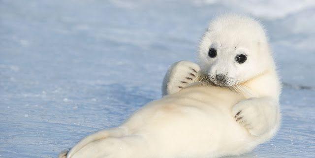 Foca-da-Groenlândia Quando nascem, essas focas têm pelos amarelos. Três dias depois, no entanto, o pelo fica branco, dando a elas a aparência fofa que você vê na foto acima. E ficam assim por mais 12 dias. Por fim, os pelos assumem a cor cinza-prateado com manchas escuras irregulares. Crédito da imagem: Daisy Gilardini/GettyImages  (Animal Planet)