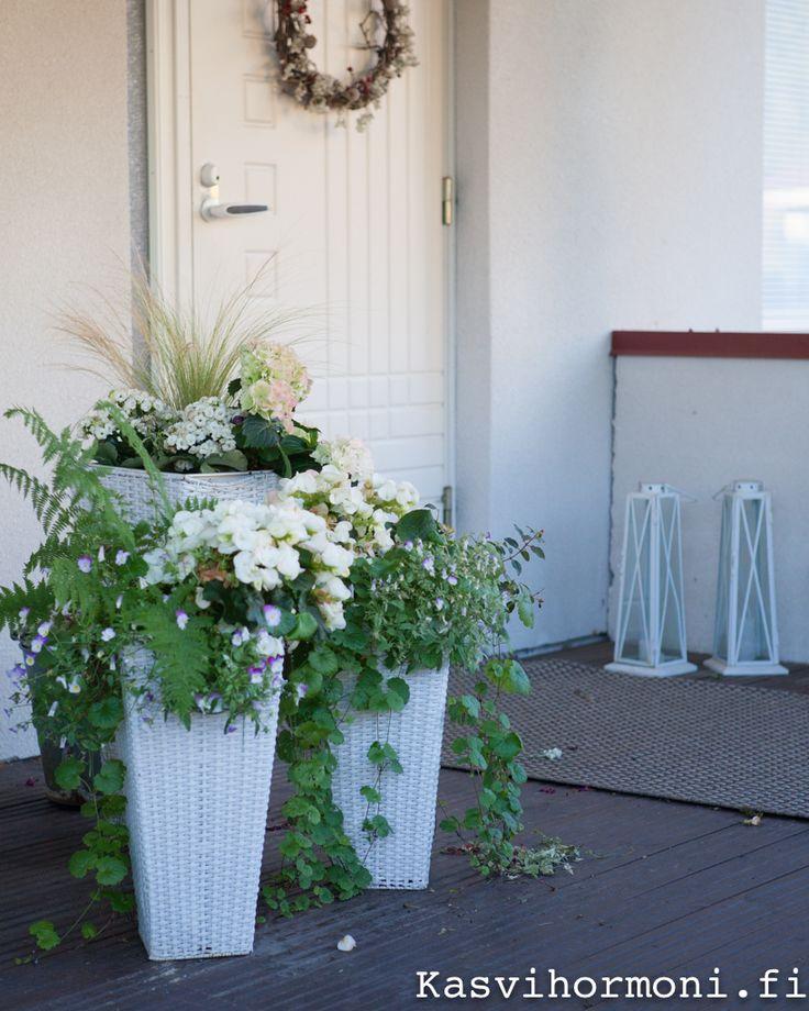Tulilatvat, valkoinen hortensia, keväiset begoniat ja hetki sitten röyhynsä avannut koristeheinä 'Pony Tail' sopivat yhteen. Text and photo Sini Kuha Viherpiha.fi