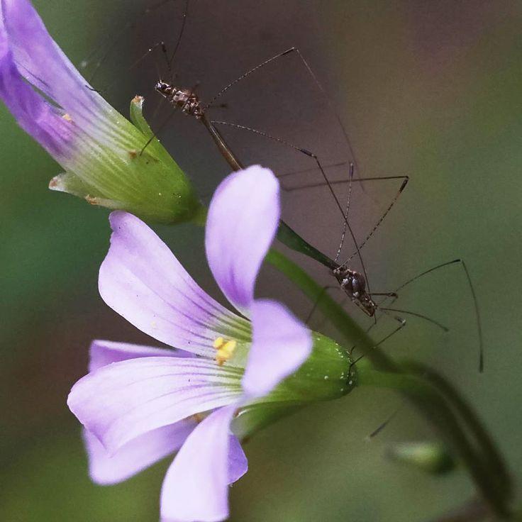 .: Não se engane esta foto se trata de sexo! :. Estava eu fazendo fotos de uma florzinea lindinea no meu quintal quando mudei o ângulo da lente e vi o que tava rolando atrás da moita!  . . . . . . . . . . . . . #macro_mood #macroworld_tr #makro #macro_perfection #macro_turkey #tgif_insects #jr_lovebugs #bugsex #bugporn #copulation #flysex #insekt #sezaikarakoc #fotophotograph #makrofotografia #macrolove #macrophotography #macroconversionlens #exclusive_macro #tgif_macro