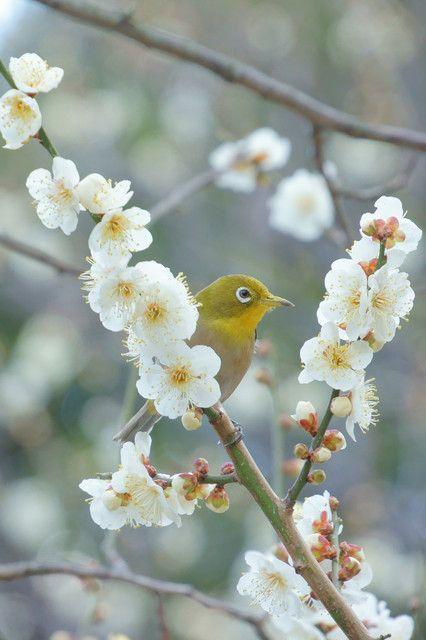 皇居のメジロ ~春を告げる天使~ 昨日は春の陽気で暖かかったですね。 皇居の梅も一気に開花が進んだようで、 小さなメジロたちが「チュチュ、チュチュ」と喜んでいました。
