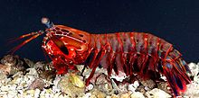 Mantis Shrimp- Rainbow colored and fascinating !!- read article- OdontodactylusScyllarus2.jpg