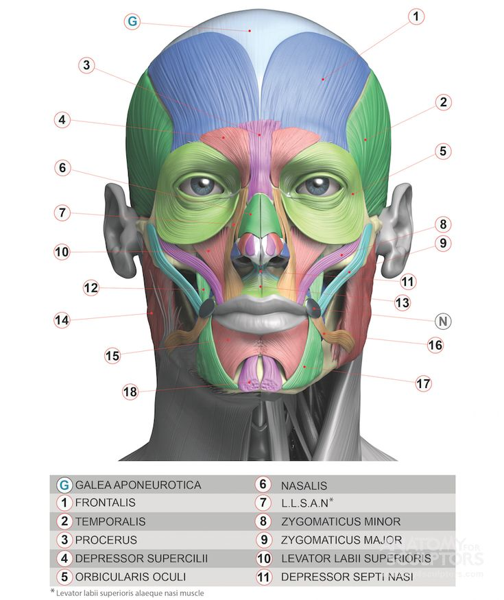 253 Best Head Anatomy Images On Pinterest Head Anatomy Anatomy