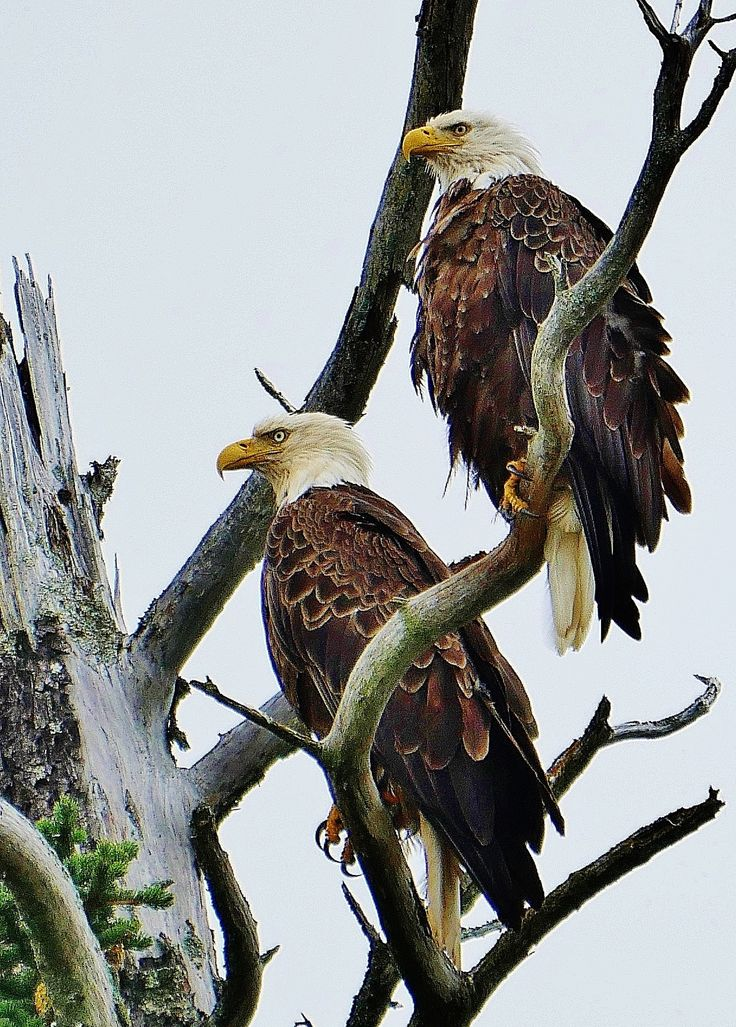 https://flic.kr/p/rWPmY3 | Male and Female Bald Eagle | Lake Clark National Park Alaska USA  Male and female Bald Eagle nesting in a dead pine tree along the shoreline of Cook's Inlet in Alaska.