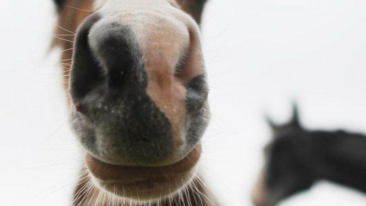 AUTSCH! – Parodontitis beim Pferd  Zahnprobleme zählen zu den häufigsten Ursachen von Unrittigkeit bei Pferden. Gründe für diese Probleme liegen neben natürlichen Ursachen leider auch in der Domestizierung der Pferde durch den Menschen und den damit einhergehenden Veränderungen ihrer Fress- und Lebensgewohnheiten.