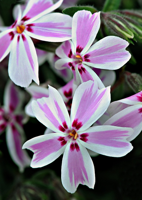 ~~Candy Stripe Creeping Phlox by Cindy Dyer Photography~~