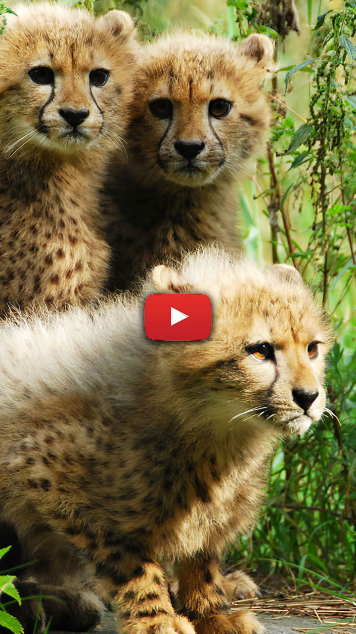 Baby Cheetahs Wallpaper Cheetah Wallpaper Backgrounds Baby Cheetahs Cubs Faces Cheetah Wallpaper Baby Cheetahs Cheetah Cubs