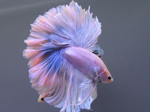 1000 images about pet on pinterest auction white roses for Baby betta fish