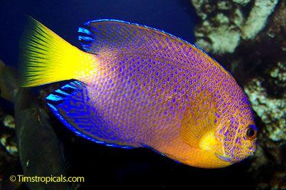 Japanese pygmy angel centropyge linterruptus fish for Rare aquarium fish