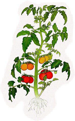 Tookieblueeyes S Animated Gif Tomato Plants For Sale 400 x 300
