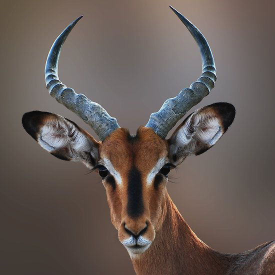 BLACK FACED IMPALA by Michael Sheridan via redbubble; generally limited to Northern Namibia.