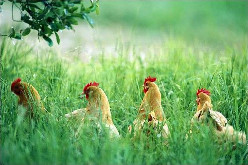 Joel Sartore - Four Buff Orpington chickens in high grass