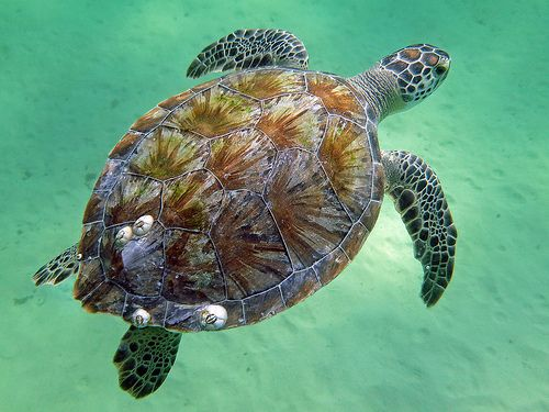 Green sea turtle, Navarre Beach, Florida