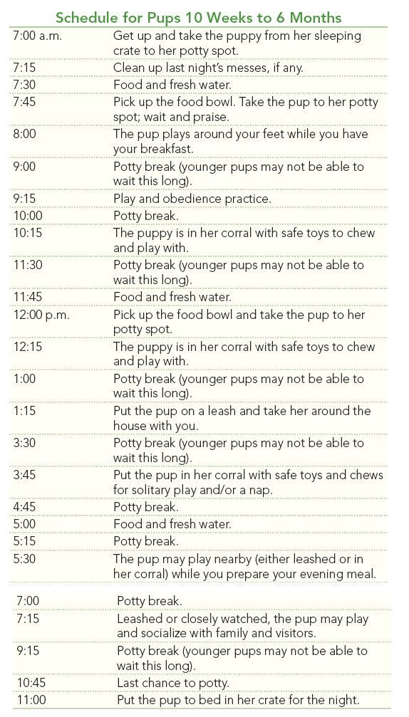 Schedule for Labrador Retriever Pups 10 Weeks to 6 Months