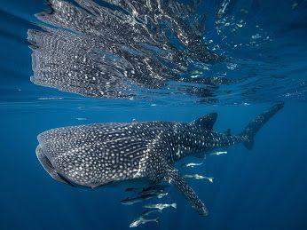 Google+ Un tiburón ballena, la especie más grande de pescado, nada a través de…