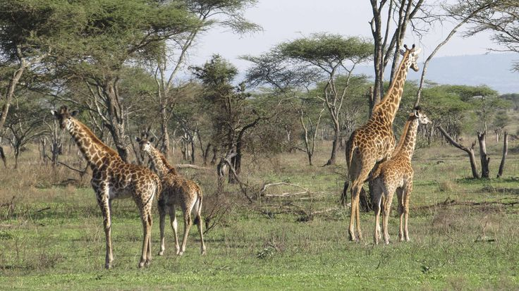 Serengeti wildlife. #Africa #travel #animal #wildlife #giraffe #safari #serengeti #weknowbecausewego