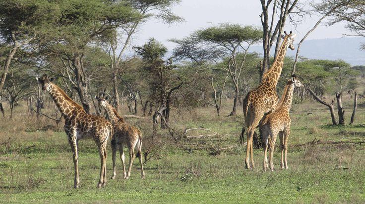 Serengeti wildlife. #Africa #travel #animal #wildlife #giraffe #safari #serengeti #weknowbecausewego