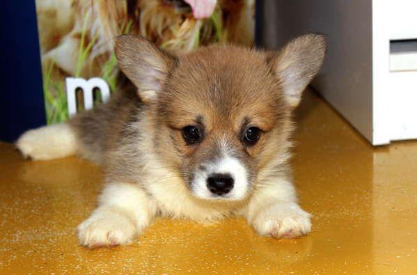 Продажа щенков вельш корги пемброк и кардиган. Огромный выбор щенков на сайте Догики. #dog #dogs #instapet #doglife #doglove #dogmodel #dogcite #dogslife #dogstagram #cutedog #puppys #puppylove #puppycat #щенок #дог #puppies #щенки #продажащенков #щенок #собака #продажасобак #догики #dogiki #cutecorgi #корги #corgination #corgisofinstagram