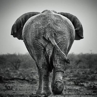 Nick brandt bye elephants photoswildlife photographyanimal photographyelephant factsafrican bush elephantasian elephantblack white