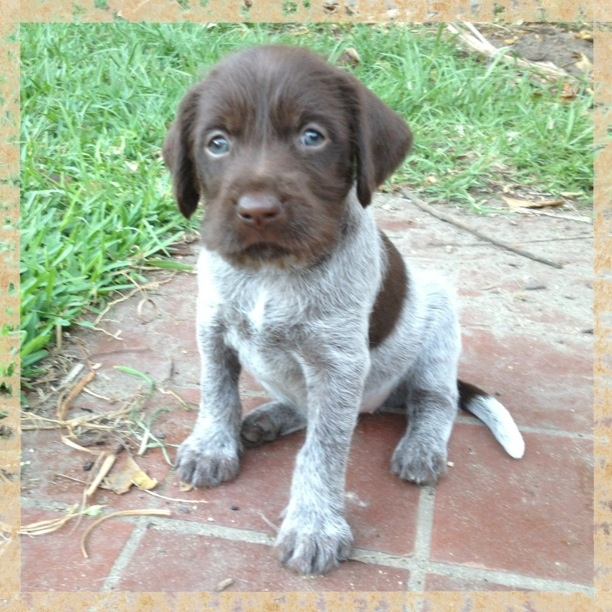 baby pictures guns pretty horses german wirehaired pointer funny ...