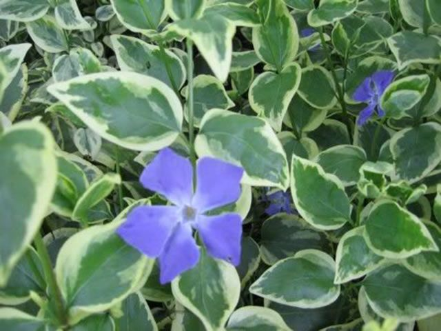 how to grow vinca from seed