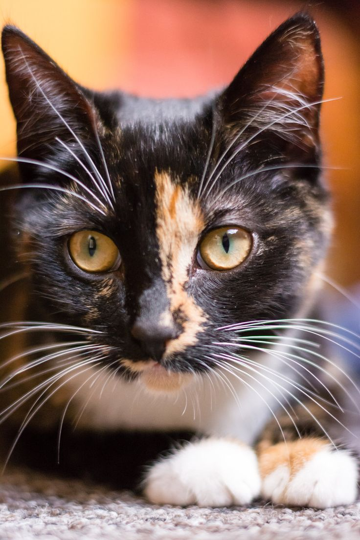 173 Best Images About Cats For Holly Our Tortoiseshell