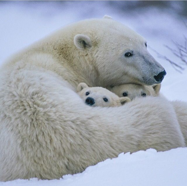 Mama Polar Bear Encircling Her Front Legs & Paws About Her 2 Cubs to Keep Them Warm.