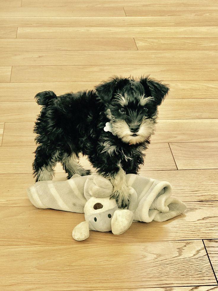 Vito #MiniSchnauzer Schnauzer Puppy. Jugando con mi tuto