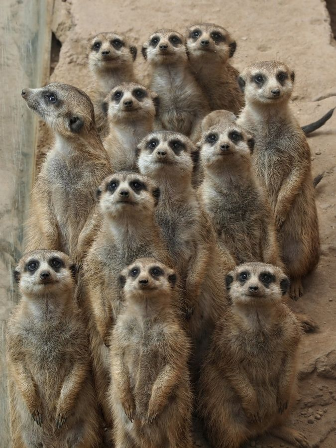Meerkats life of pi - photo#30