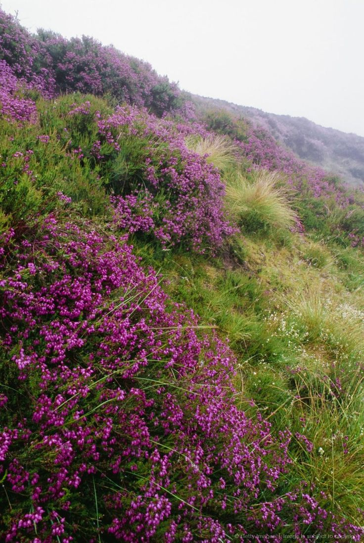 Blooming heather, North York Moors National Park, England