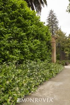 Monrovia's English Laurel details and information. Learn more about Monrovia plants and best practices for best possible plant performance.