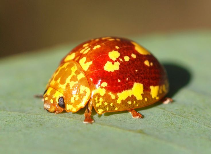 """""""Paropsis maculata"""" spotted by Mac Christiansen"""