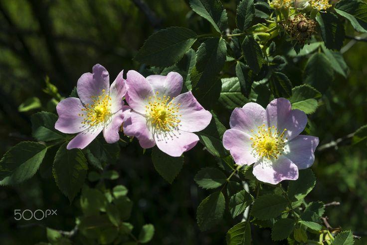 Yaban Gülleri (Wild Roses) - Yaban Gülleri Kır çiçekleri Mart ayından itibaren Ağustos ayına kadar kırları süslerler. Çok çeşitli renkte olan kır çiçekleri vardır ve doğaya güzellik katarlar..