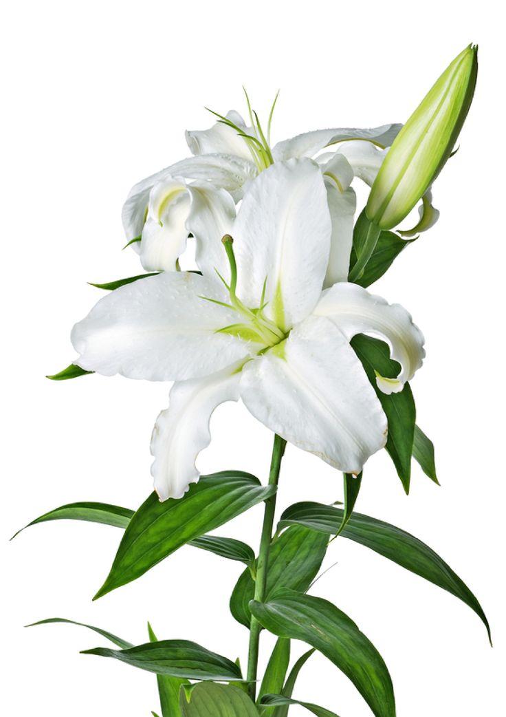 Lilys Site: White Lilies - ClipArt Best - ClipArt Best